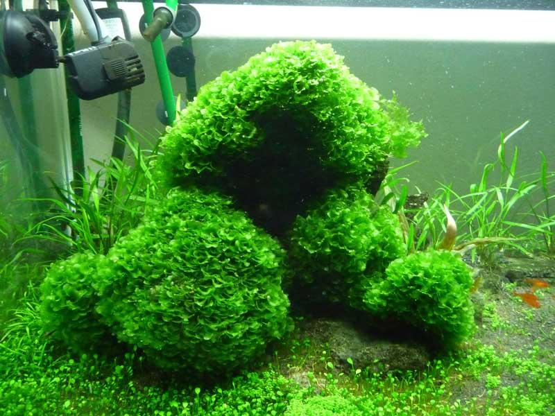 Pellia liverwort