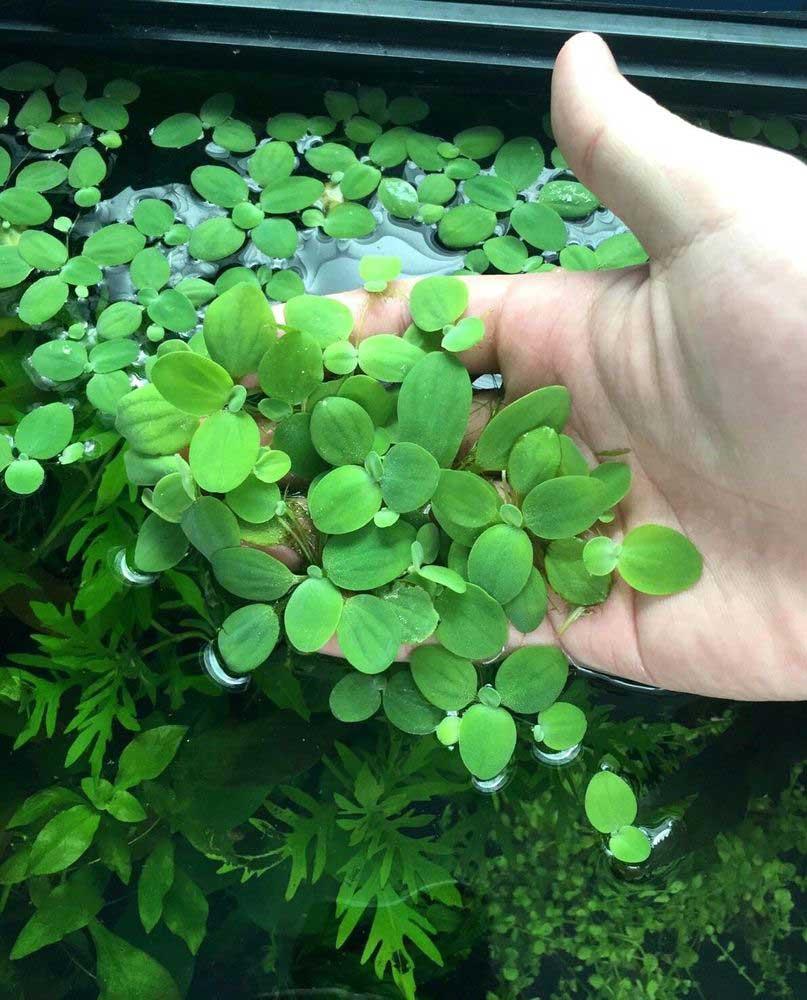 Water Lettuce aquarium plant
