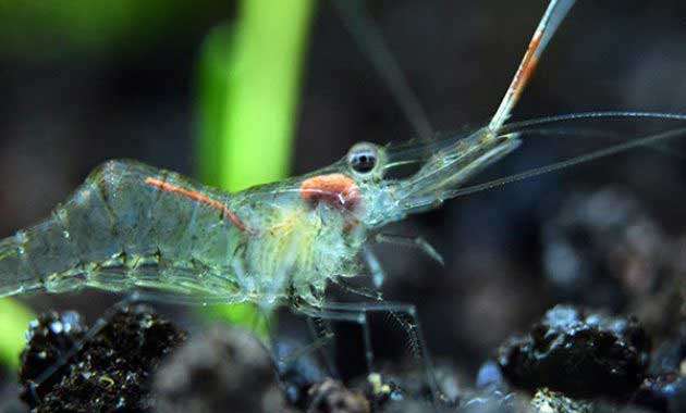 Ghost Shrimp Photo