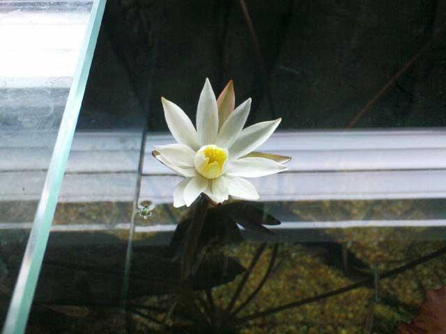 Tiger Lotus Blossom