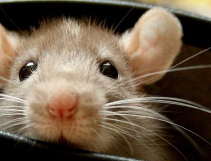 Best Cages for Pet Rats