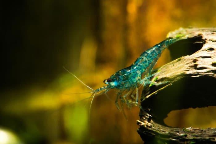 Blue Velvet Cherry Shrimp
