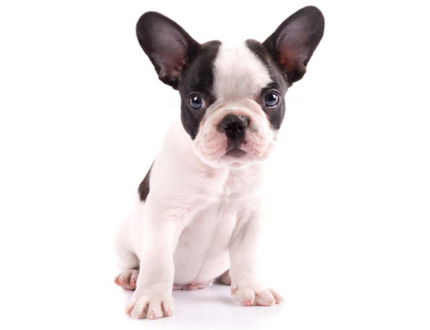 French Bulldog Shedding and Skin Care