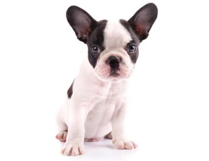 French Bulldog Shedding and Skin Care