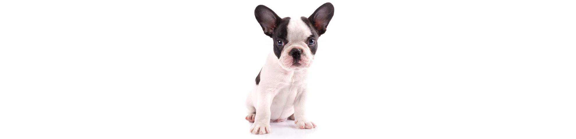 French Bulldog Shedding