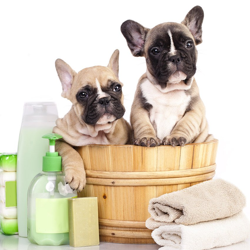 French Bulldog Grooming