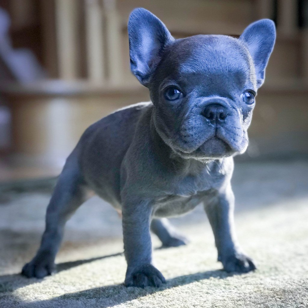 The Many Colors Of The French Bulldog Petshotspot Com
