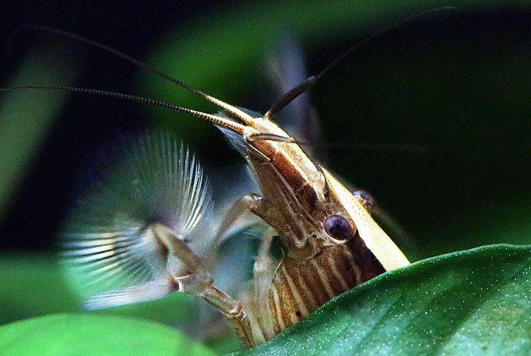 Bamboo Shrimp Care