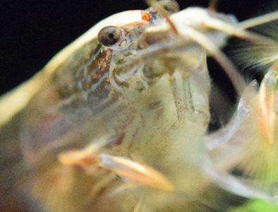 Bamboo Shrimp Image