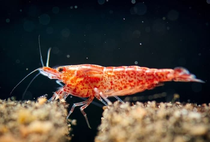 Cherry Shrimp photo