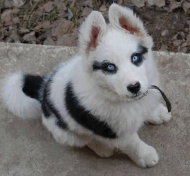 Corgi Husky mix puppy