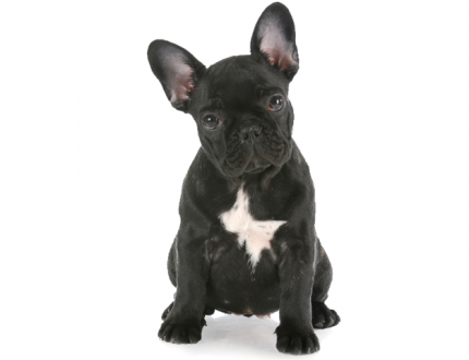 The Cost of Having a French Bulldog