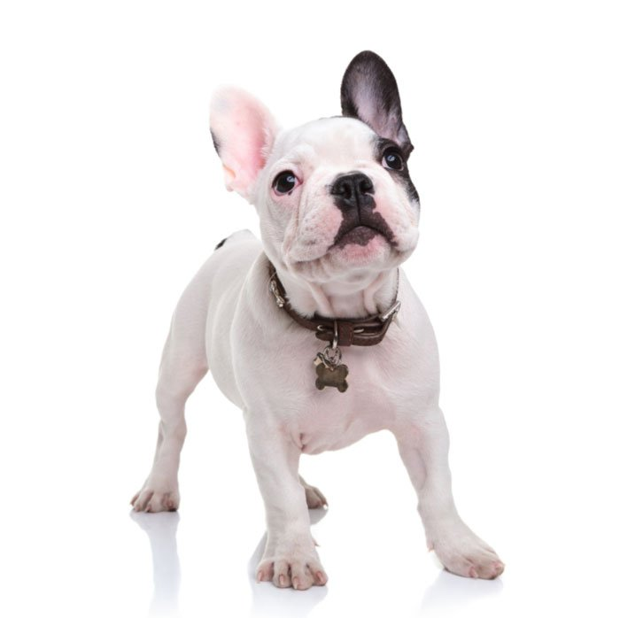 French Bulldog Cost