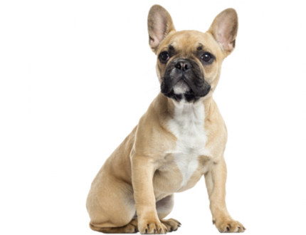 The Lifespan of the French Bulldog