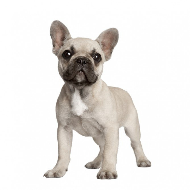 French Bulldog Shedding And Grooming