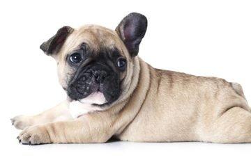 French Bulldog rest