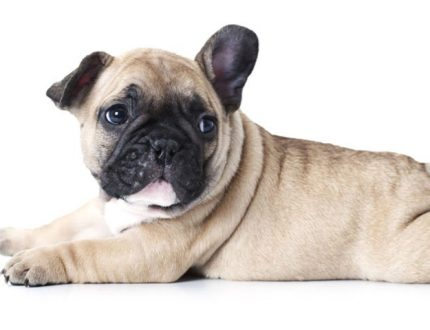 Maintaining the Optimum Weight for a French Bulldog
