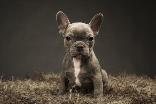 Grey French Bull Dog