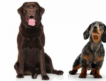 Dachshund Lab Mix – Are These Two Favorites Your Match?