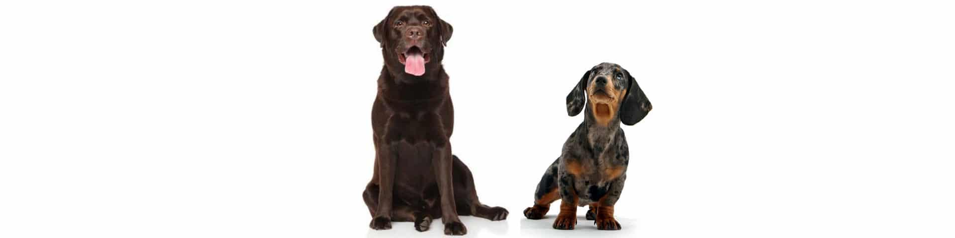 Labrador and Dachshund