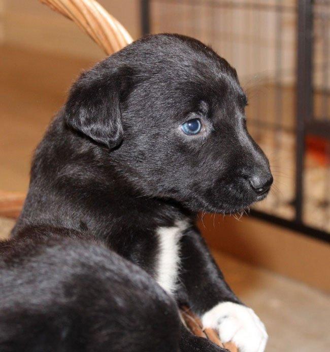 border collie lab mix puppy