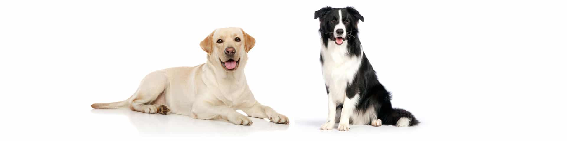 Border collie and lab