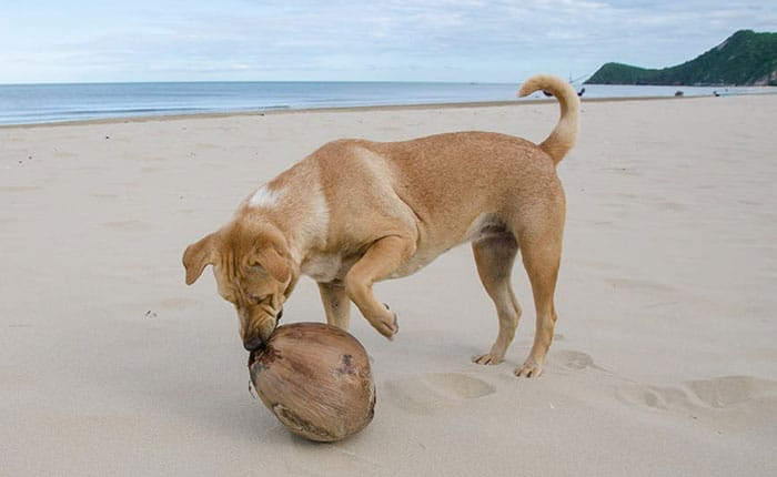 coconut with dog