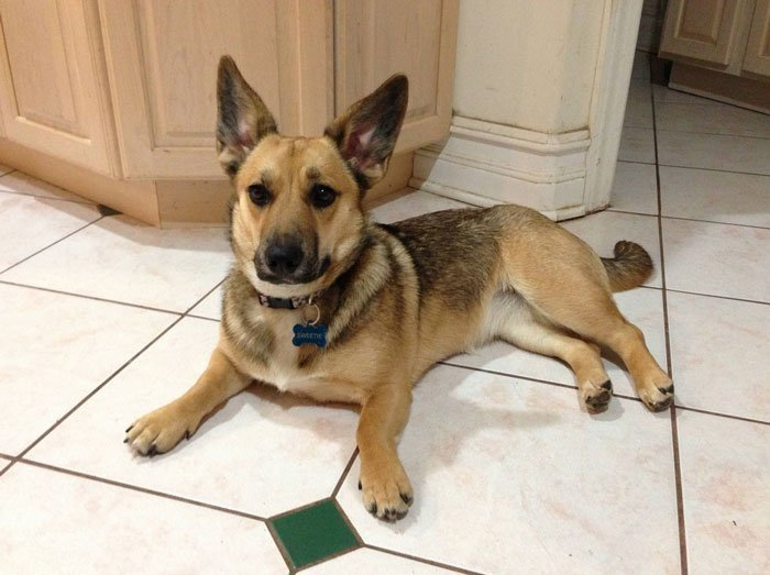 Corgi German Shepherd Mix