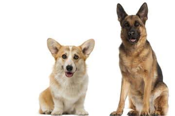 German Shepherd and Corgi