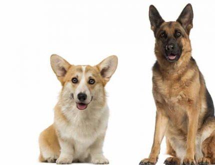 German Shepherd Corgi Mix (Corman Shepherd) – Smart and Loyal Mix
