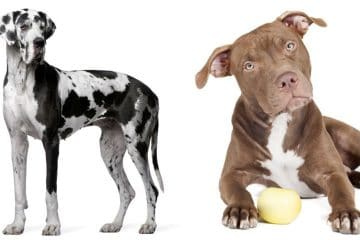 Great Dane and Pitbull image