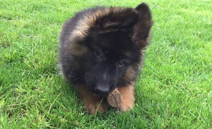 Long Haired German Shepherd Puppie