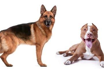Pitbull and German Shepherd