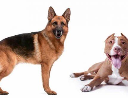Pitbull German Shepherd Mix – Intelligent, Strong Family Dog?