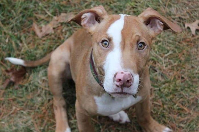 Pitbull German Shepherd mix puppy