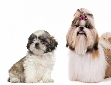 Teacup Shih Tzu – Small, Cute and Adorable Dog