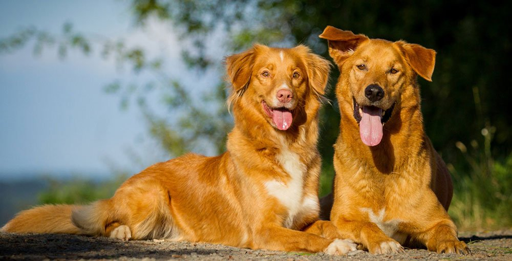 German Shepherd Golden Retriever Mix What You Need To Know