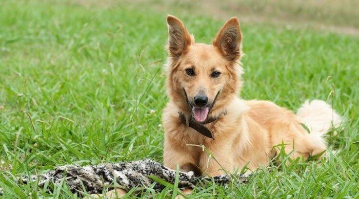 German Shepherd Golden Retriever Mix breed