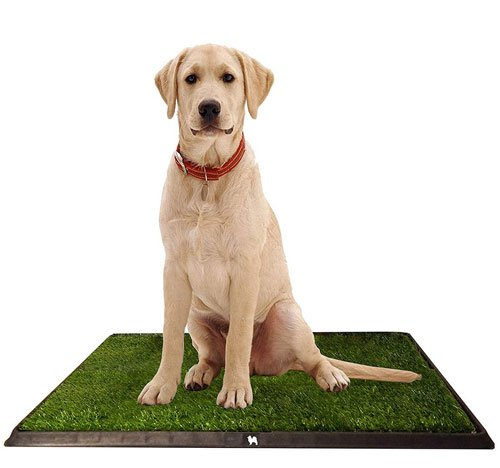 Golden labrador on indoor dog potty