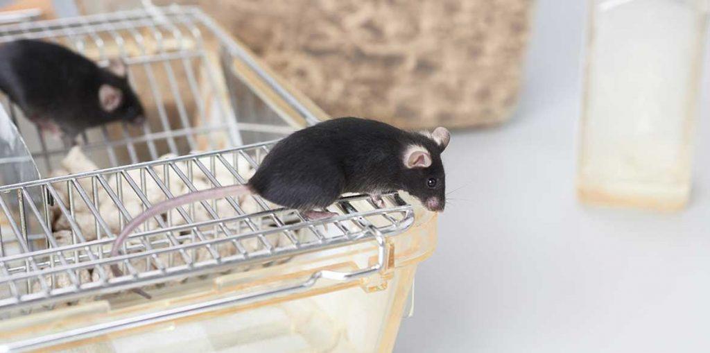 Exploring black mouse